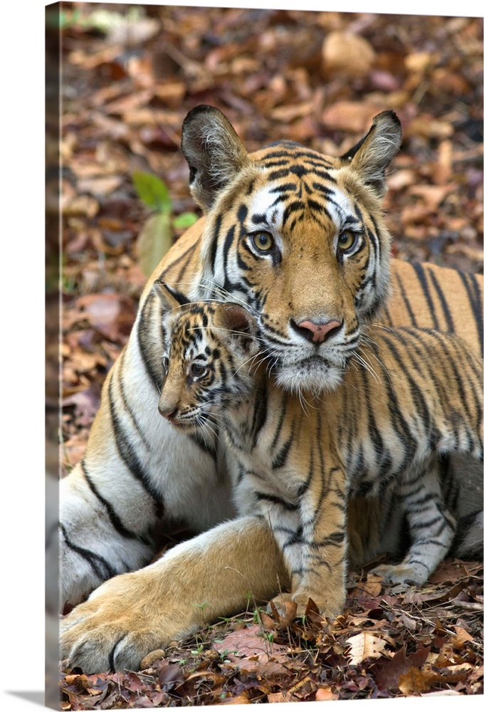 Large Gallery-Wrapped Canvas Wall Art Print 16 x 24 entitled Bengal Tiger mother and eight week old cub, India Gallery-Wrapped Canvas entitled Bengal Tiger mother and eight week old cub India.  Bengal Tiger.Panthera tigris .Mother and eight week old cub.Bandhavgarh National Park India........  Multiple sizes available.  Primary colors within this image include Black Gray Silver.  Made in USA.  Satisfaction guaranteed.  Inks used are latex-based and designed to last.  Museum-quality artist-grade canvas mounted on sturdy wooden stretcher bars 1.5 thick.  Comes ready to hang.  Canvas frames are built with farmed or reclaimed domestic pine or poplar wood.
