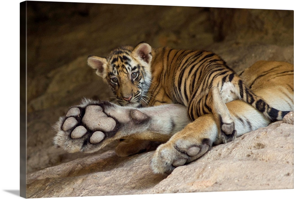Large Gallery-Wrapped Canvas Wall Art Print 24 x 16 entitled Bengal Tiger six week old cub on mother paw at den, Bandhavga... Gallery-Wrapped Canvas entitled Bengal Tiger six week old cub on mother paw at den Bandhavgarh National Park India.  Bengal Tiger.Panthera tigris .6 week old cub on mother at den.Bandhavgarh National Park India.Digitally removed branch in foreground........  Multiple sizes available.  Primary colors within this image include Silver Dark Forest Green.  Made in USA.  Satisfaction guaranteed.  Archival-quality UV-resistant inks.  Canvas frames are built with farmed or reclaimed domestic pine or poplar wood.  Canvas is a 65 polyester 35 cotton base with two acrylic latex primer basecoats and a semi-gloss inkjet receptive topcoat.