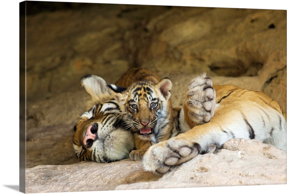 Large Gallery-Wrapped Canvas Wall Art Print 24 x 16 entitled Bengal Tiger six week old cub on sleeping mother at den, India Gallery-Wrapped Canvas entitled Bengal Tiger six week old cub on sleeping mother at den India.  Bengal Tiger.Panthera tigris .6 week old cub on mother at den.Bandhavgarh National Park India........  Multiple sizes available.  Primary colors within this image include Silver Dark Forest Green.  Made in the USA.  Satisfaction guaranteed.  Inks used are latex-based and designed to last.  Canvas is designed to prevent fading.  Museum-quality artist-grade canvas mounted on sturdy wooden stretcher bars 1.5 thick.  Comes ready to hang.