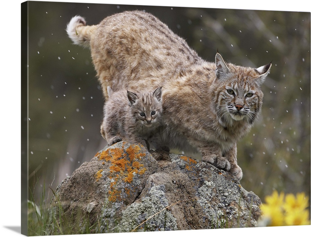 Large Gallery-Wrapped Canvas Wall Art Print 24 x 17 entitled Bobcat (Lynx rufus) mother and kitten in snowfall, North America Gallery-Wrapped Canvas entitled Bobcat Lynx rufus mother and kitten in snowfall North America.  Multiple sizes available.  Primary colors within this image include Light Yellow Silver Dark Forest Green.  Made in the USA.  Satisfaction guaranteed.  Archival-quality UV-resistant inks.  Canvas is acid-free and 20 millimeters thick.  Museum-quality artist-grade canvas mounted on sturdy wooden stretcher bars 1.5 thick.  Comes ready to hang.