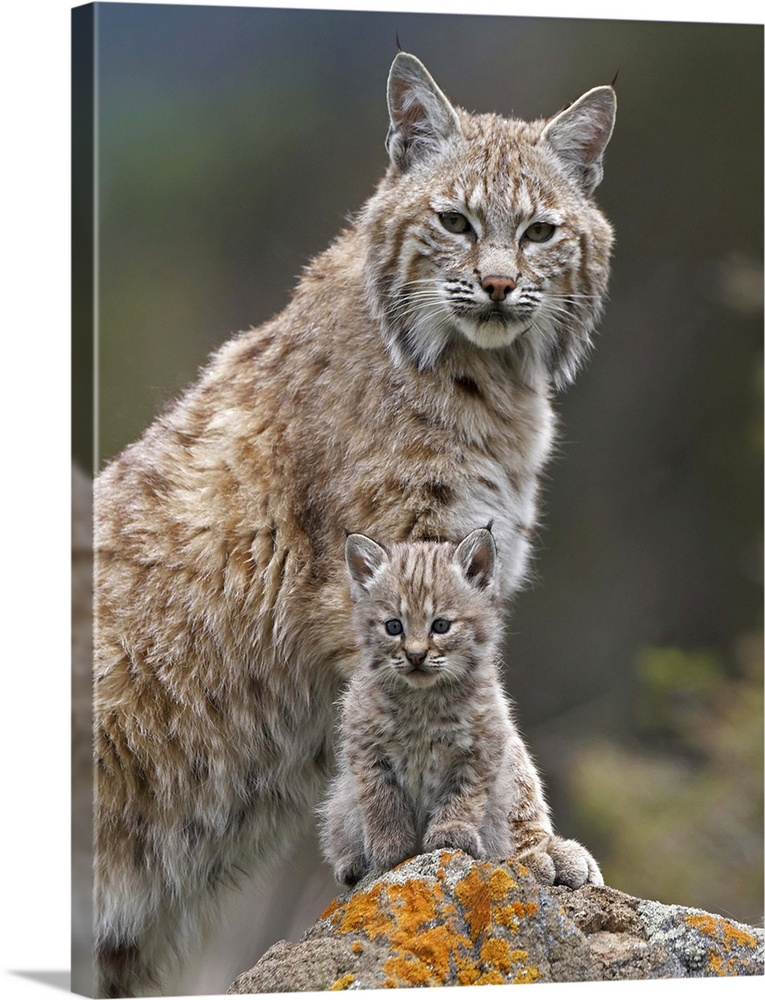 Large Gallery-Wrapped Canvas Wall Art Print 18 x 24 entitled Bobcat (Lynx rufus) mother and kitten, North America Gallery-Wrapped Canvas entitled Bobcat Lynx rufus mother and kitten North America.  Multiple sizes available.  Primary colors within this image include Brown Light Gray Dark Forest Green.  Made in USA.  Satisfaction guaranteed.  Inks used are latex-based and designed to last.  Canvases have a UVB protection built in to protect against fading and moisture and are designed to last for over 100 years.  Canvas is designed to prevent fading.