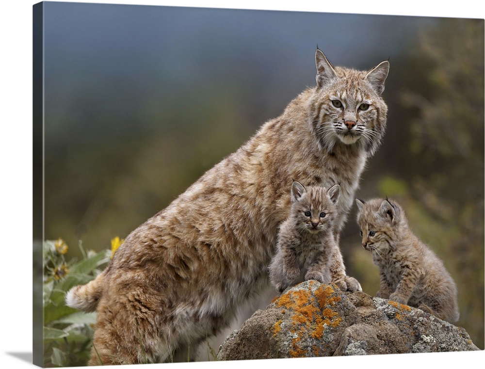 Large Gallery-Wrapped Canvas Wall Art Print 24 x 17 entitled Bobcat (Lynx rufus) mother and kittens, North America Gallery-Wrapped Canvas entitled Bobcat Lynx rufus mother and kittens North America.  Multiple sizes available.  Primary colors within this image include Dark Yellow Dark Forest Green Gray Blue.  Made in the USA.  All products come with a 365 day workmanship guarantee.  Inks used are latex-based and designed to last.  Canvas is designed to prevent fading.  Canvas frames are built with farmed or reclaimed domestic pine or poplar wood.