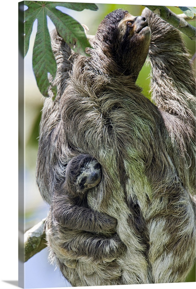 Large Gallery-Wrapped Canvas Wall Art Print 16 x 24 entitled Brown-throated Three-toed Sloth (Bradypus variegatus) mother ... Gallery-Wrapped Canvas entitled Brown-throated Three-toed Sloth Bradypus variegatus mother and baby Costa Rica.  Brown-throated Three-toed Sloth Bradypus variegatusNewborn baby less than 1 week old clinging to mothers back as she climbs treeAviarios Sloth Sanctuary Costa Rica.  Multiple sizes available.  Primary colors within this image include Light Gray Dark Forest Green Pale Blue Lime Green.  Made in the USA.  Satisfaction guaranteed.  Inks used are latex-based and designed to last.  Canvases have a UVB protection built in to protect against fading and moisture and are designed to last for over 100 years.  Canvas is acid-free and 20 millimeters thick.