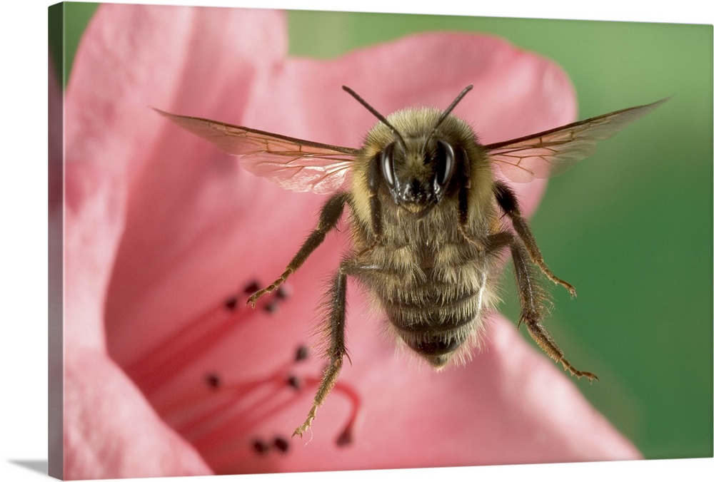 Large Gallery-Wrapped Canvas Wall Art Print 24 x 16 entitled Bumblebee Gallery-Wrapped Canvas entitled Bumblebee.  Bumblebee Bombus huntii flying toward the camera after collecting nectar from a Rhododendron flower northeast Oregon.  Multiple sizes available.  Primary colors within this image include Forest Green Pink Black Silver.  Made in USA.  All products come with a 365 day workmanship guarantee.  Inks used are latex-based and designed to last.  Canvases have a UVB protection built in to protect against fading and moisture and are designed to last for over 100 years.  Canvas frames are built with farmed or reclaimed domestic pine or poplar wood.