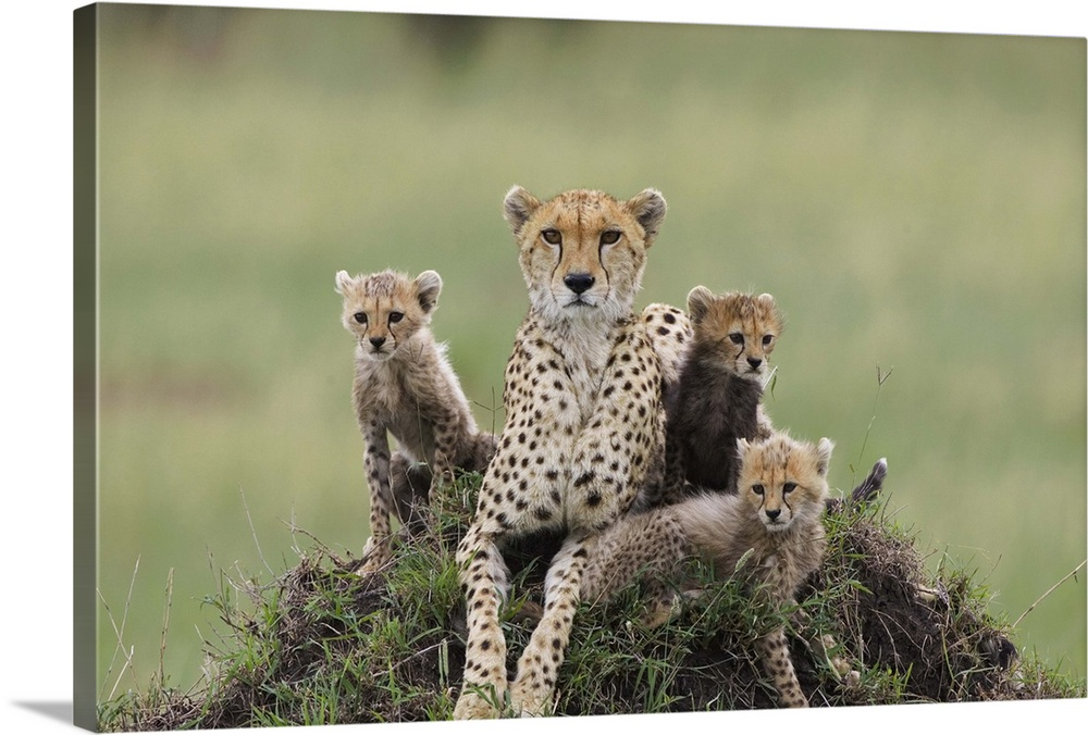 Large Gallery-Wrapped Canvas Wall Art Print 24 x 16 entitled Cheetah mother and eight to nine week old cubs Gallery-Wrapped Canvas entitled Cheetah mother and eight to nine week old cubs.  Cheetah Acinonyx jubatus mother and eight to nine week old cubs Maasai Mara Reserve Kenya.  Multiple sizes available.  Primary colors within this image include Dark Gray Light Gray.  Made in the USA.  All products come with a 365 day workmanship guarantee.  Archival-quality UV-resistant inks.  Canvases have a UVB protection built in to protect against fading and moisture and are designed to last for over 100 years.  Canvases are stretched across a 1.5 inch thick wooden frame with easy-to-mount hanging hardware.