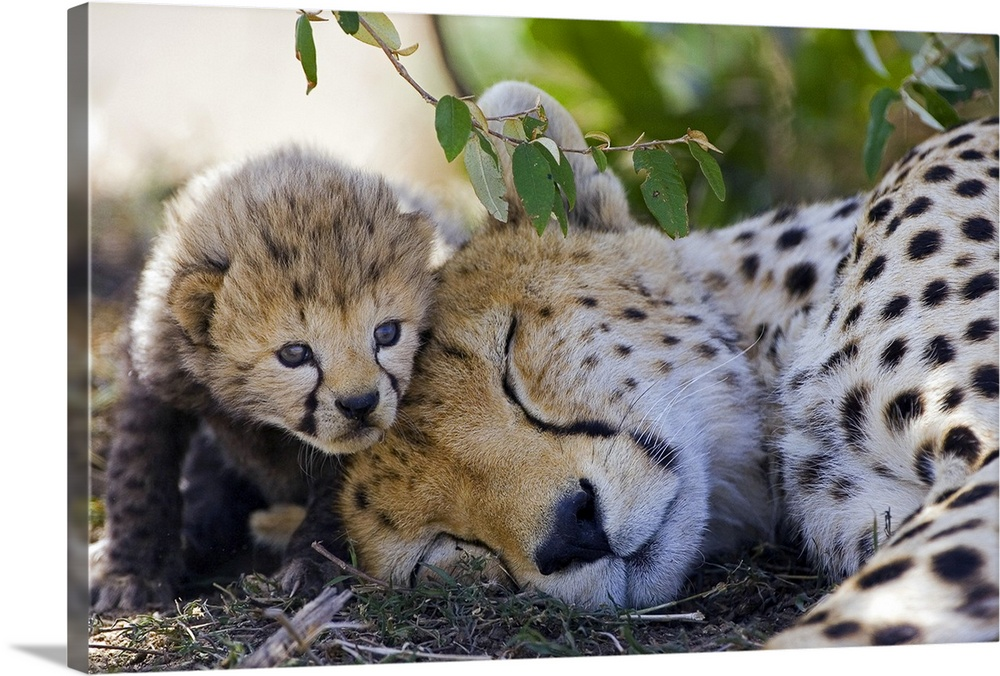 Large Gallery-Wrapped Canvas Wall Art Print 24 x 16 entitled Cheetah mother and seven day old cub Gallery-Wrapped Canvas entitled Cheetah mother and seven day old cub.  Cheetah Acinonyx jubatus mother and seven day old cub Maasai Mara Reserve Kenya.  Multiple sizes available.  Primary colors within this image include Forest Green Dark Gray Silver.  Made in the USA.  All products come with a 365 day workmanship guarantee.  Inks used are latex-based and designed to last.  Canvas is designed to prevent fading.  Canvas is a 65 polyester 35 cotton base with two acrylic latex primer basecoats and a semi-gloss inkjet receptive topcoat.