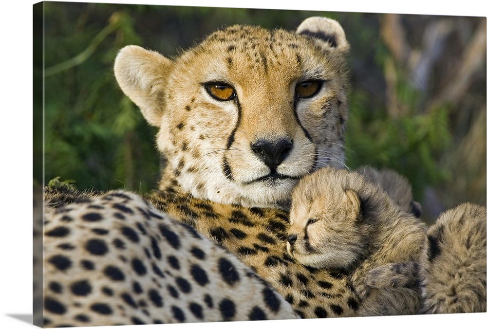 Large Gallery-Wrapped Canvas Wall Art Print 24 x 16 entitled Cheetah thirteen day old cub resting against mother in nest Gallery-Wrapped Canvas entitled Cheetah thirteen day old cub resting against mother in nest.  Cheetah Acinonyx jubatus thirteen day old cub resting against mother in nest Maasai Mara Reserve Kenya.  Multiple sizes available.  Primary colors within this image include Black Light Gray.  Made in the USA.  All products come with a 365 day workmanship guarantee.  Inks used are latex-based and designed to last.  Museum-quality artist-grade canvas mounted on sturdy wooden stretcher bars 1.5 thick.  Comes ready to hang.  Canvas is designed to prevent fading.