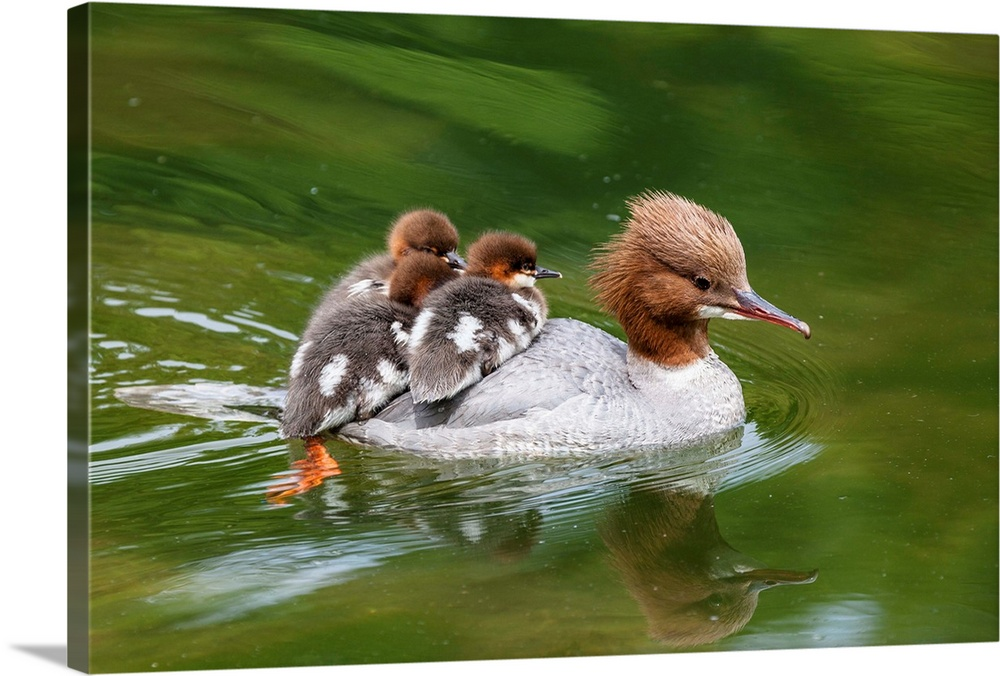 Large Gallery-Wrapped Canvas Wall Art Print 24 x 16 entitled Common Merganser mother carrying chicks on water, Upper Bavar... Gallery-Wrapped Canvas entitled Common Merganser mother carrying chicks on water Upper Bavaria Germany.  G..nses..ger Weibchen mit K..ken Mergus merganser Oberbayern Deutschland  Goosander female with chicks Mergus merganser Upper Bavaria Germany.  Multiple sizes available.  Primary colors within this image include Brown Black Silver Dark Forest Green.  Made in the USA.  Satisfaction guaranteed.  Archival-quality UV-resistant inks.  Canvas is a 65 polyester 35 cotton base with two acrylic latex primer basecoats and a semi-gloss inkjet receptive topcoat.  Canvases have a UVB protection built in to protect against fading and moisture and are designed to last for over 100 years.