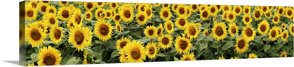 Large Gallery-Wrapped Canvas Wall Art Print 60 x 13 entitled Common Sunflower (Helianthus annuus), Yamanashi, Japan Gallery-Wrapped Canvas entitled Common Sunflower Helianthus annuus, Yamanashi, Japan.  SONY DSC.  Multiple sizes available.  Primary colors within this image include Yellow, Brown, Dark Yellow, Black.  Made in USA.  All products come with a 365 day workmanship guarantee.  Archival-quality UV-resistant inks.  Canvas is a 65 polyester, 35 cotton base, with two acrylic latex primer basecoats and a semi-gloss inkjet receptive topcoat.  Museum-quality, artist-grade canvas mounted on sturdy wooden stretcher bars 1.5 thick.  Comes ready to hang.