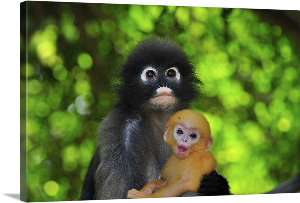 Large Gallery-Wrapped Canvas Wall Art Print 24 x 16 entitled Dusky Leaf Monkey mother with baby, Khao Sam Roi Yot National... Gallery-Wrapped Canvas entitled Dusky Leaf Monkey mother with baby Khao Sam Roi Yot National Park.  Dusky Leaf Monkey  Spectacled Langur  Spectacled Leaf Monkey - Trachypithecus obscurus - mother with baby - Khao Sam Roi Yot National Park - Thailand.  Multiple sizes available.  Primary colors within this image include Forest Green Peach Dark Gray Lime Green.  Made in USA.  Satisfaction guaranteed.  Archival-quality UV-resistant inks.  Canvas frames are built with farmed or reclaimed domestic pine or poplar wood.  Canvas is acid-free and 20 millimeters thick.