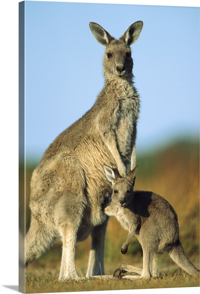 Large Gallery-Wrapped Canvas Wall Art Print 16 x 24 entitled Eastern Grey Kangaroo joey reaching into mother's pouch Gallery-Wrapped Canvas entitled Eastern Grey Kangaroo joey reaching into mothers pouch.  Eastern Grey Kangaroo Macropus giganteus joey reaching into mothers pouch Wilsons Promontory National Park Australia.  Multiple sizes available.  Primary colors within this image include Brown Dark Gray Light Gray Blue.  Made in USA.  All products come with a 365 day workmanship guarantee.  Archival-quality UV-resistant inks.  Canvas frames are built with farmed or reclaimed domestic pine or poplar wood.  Canvas is a 65 polyester 35 cotton base with two acrylic latex primer basecoats and a semi-gloss inkjet receptive topcoat.