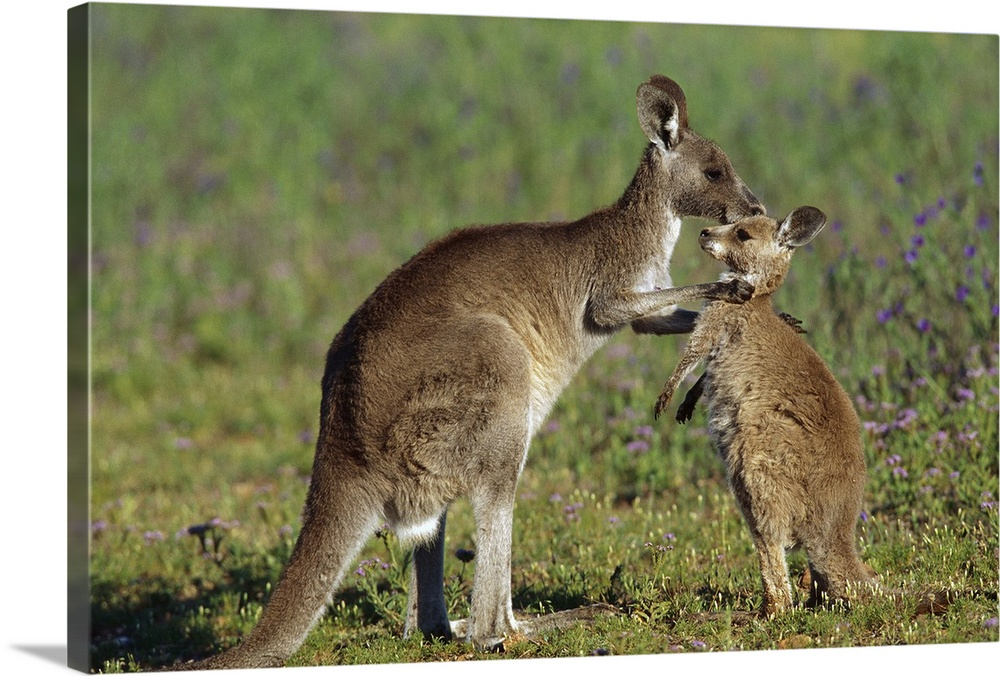Large Gallery-Wrapped Canvas Wall Art Print 24 x 16 entitled Eastern Grey Kangaroo (Macropus giganteus) mother with joey, ... Gallery-Wrapped Canvas entitled Eastern Grey Kangaroo Macropus giganteus mother with joey Australia.  Australia.  Multiple sizes available.  Primary colors within this image include Forest Green Dark Gray Light Gray.  Made in USA.  Satisfaction guaranteed.  Inks used are latex-based and designed to last.  Canvases are stretched across a 1.5 inch thick wooden frame with easy-to-mount hanging hardware.  Canvas is acid-free and 20 millimeters thick.