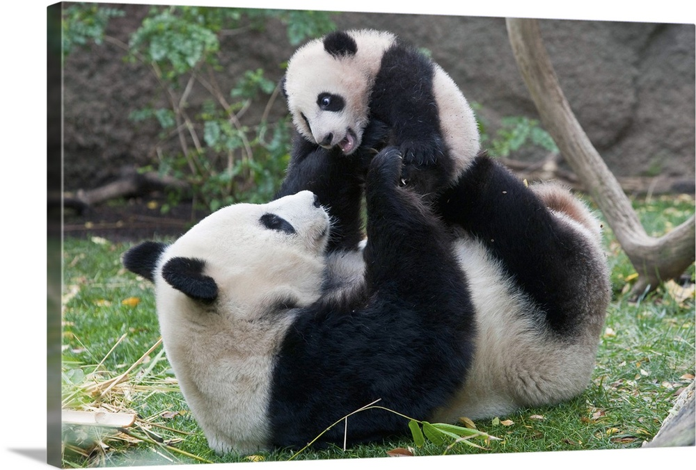 Large Gallery-Wrapped Canvas Wall Art Print 24 x 16 entitled Giant Panda (Ailuropoda melanoleuca) mother and cub playing, ... Gallery-Wrapped Canvas entitled Giant Panda Ailuropoda melanoleuca mother and cub playing native to China.  Multiple sizes available.  Primary colors within this image include Dark Yellow Black Gray Silver.  Made in USA.  All products come with a 365 day workmanship guarantee.  Inks used are latex-based and designed to last.  Canvas is designed to prevent fading.  Canvases have a UVB protection built in to protect against fading and moisture and are designed to last for over 100 years.