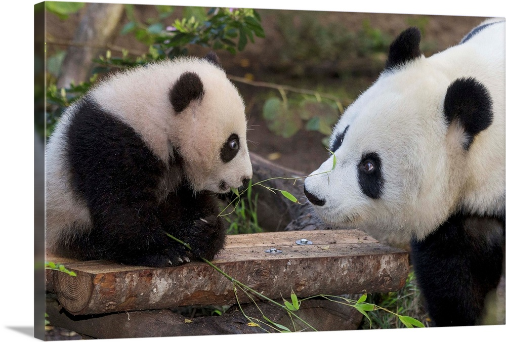 Large Gallery-Wrapped Canvas Wall Art Print 24 x 16 entitled Giant Panda mother with cub, native to China Gallery-Wrapped Canvas entitled Giant Panda mother with cub native to China.  Multiple sizes available.  Primary colors within this image include Dark Yellow Black Gray White.  Made in USA.  All products come with a 365 day workmanship guarantee.  Inks used are latex-based and designed to last.  Canvas frames are built with farmed or reclaimed domestic pine or poplar wood.  Canvas is a 65 polyester 35 cotton base with two acrylic latex primer basecoats and a semi-gloss inkjet receptive topcoat.