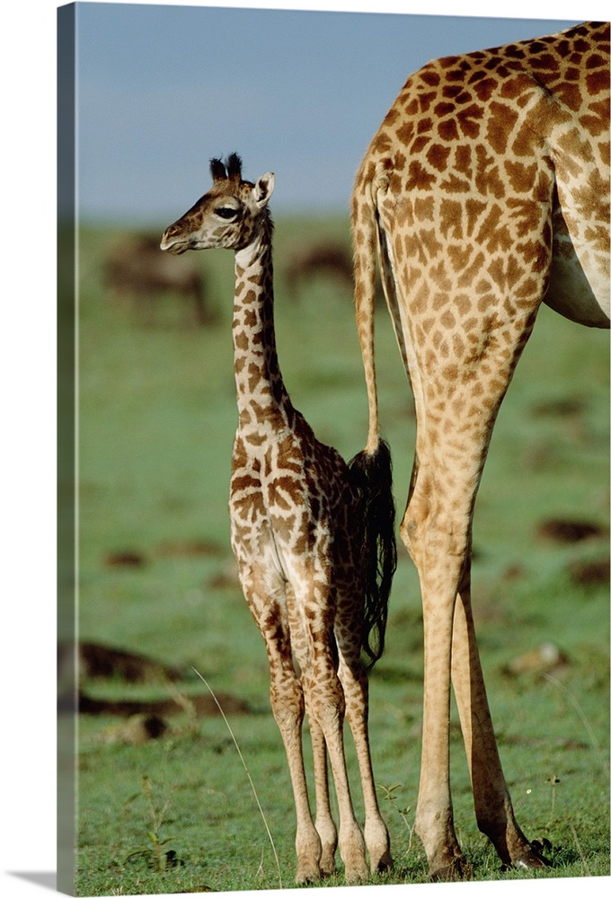 Large Gallery-Wrapped Canvas Wall Art Print 16 x 24 entitled Giraffe (Giraffa camelopardalis) mother with young, Kenya Gallery-Wrapped Canvas entitled Giraffe Giraffa camelopardalis mother with young Kenya.  Multiple sizes available.  Primary colors within this image include Brown Black Dark Forest Green Light Gray Blue.  Made in USA.  All products come with a 365 day workmanship guarantee.  Inks used are latex-based and designed to last.  Canvas is designed to prevent fading.  Canvases are stretched across a 1.5 inch thick wooden frame with easy-to-mount hanging hardware.