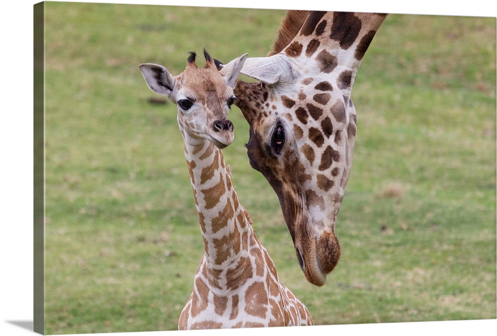 Large Gallery-Wrapped Canvas Wall Art Print 24 x 16 entitled Giraffe mother nuzzling calf, native to Africa Gallery-Wrapped Canvas entitled Giraffe mother nuzzling calf native to Africa.  Multiple sizes available.  Primary colors within this image include Dark Gray Light Gray Silver.  Made in USA.  All products come with a 365 day workmanship guarantee.  Inks used are latex-based and designed to last.  Canvas frames are built with farmed or reclaimed domestic pine or poplar wood.  Canvases are stretched across a 1.5 inch thick wooden frame with easy-to-mount hanging hardware.