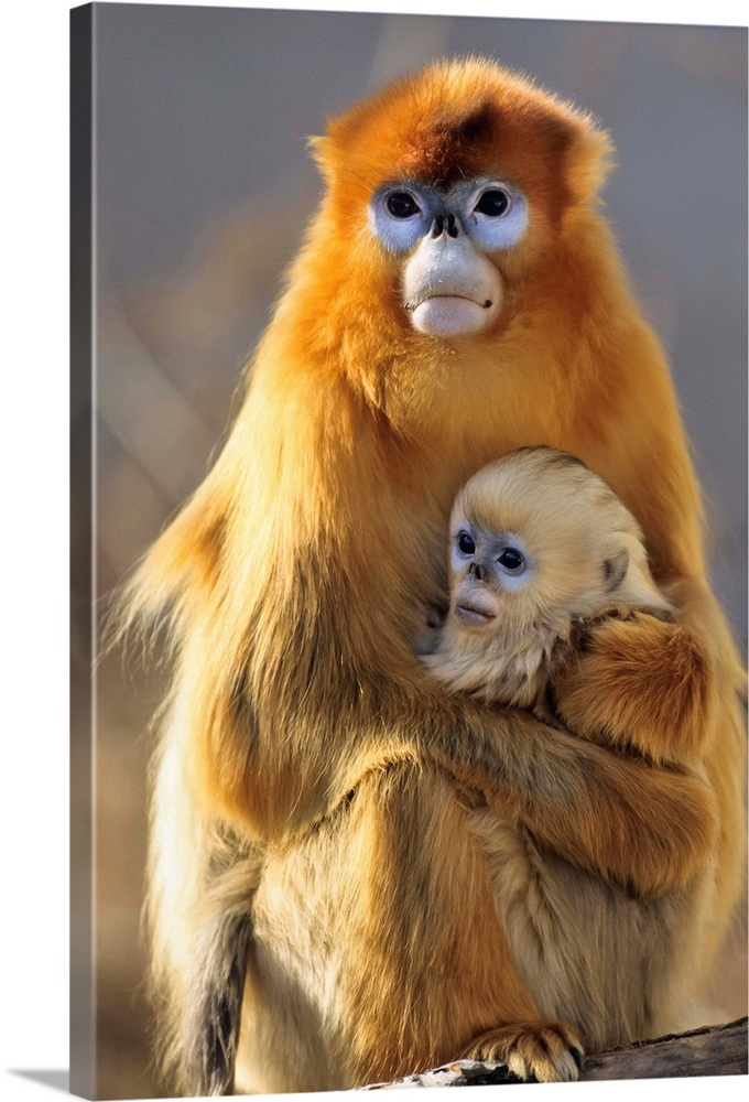 Large Gallery-Wrapped Canvas Wall Art Print 16 x 24 entitled Golden Snub-nosed Monkey mother with baby, China Gallery-Wrapped Canvas entitled Golden Snub-nosed Monkey mother with baby China.  Multiple sizes available.  Primary colors within this image include Brown Peach Black Gray.  Made in USA.  Satisfaction guaranteed.  Inks used are latex-based and designed to last.  Canvas is a 65 polyester 35 cotton base with two acrylic latex primer basecoats and a semi-gloss inkjet receptive topcoat.  Canvas is acid-free and 20 millimeters thick.