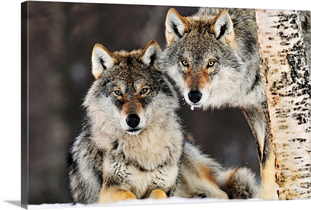 Large Gallery-Wrapped Canvas Wall Art Print 24 x 16 entitled Gray Wolf (Canis lupus) pair in the snow, Norway Gallery-Wrapped Canvas entitled Gray Wolf Canis lupus pair in the snow Norway.  This large picture contains two gray wolves in the snow staring directly at the camera. One is lying on the ground while the other is half shown with a birch tree in front of it.  Multiple sizes available.  Primary colors within this image include Black Gray Silver.  Made in USA.  Satisfaction guaranteed.  Inks used are latex-based and designed to last.  Canvas is a 65 polyester 35 cotton base with two acrylic latex primer basecoats and a semi-gloss inkjet receptive topcoat.  Canvas frames are built with farmed or reclaimed domestic pine or poplar wood.