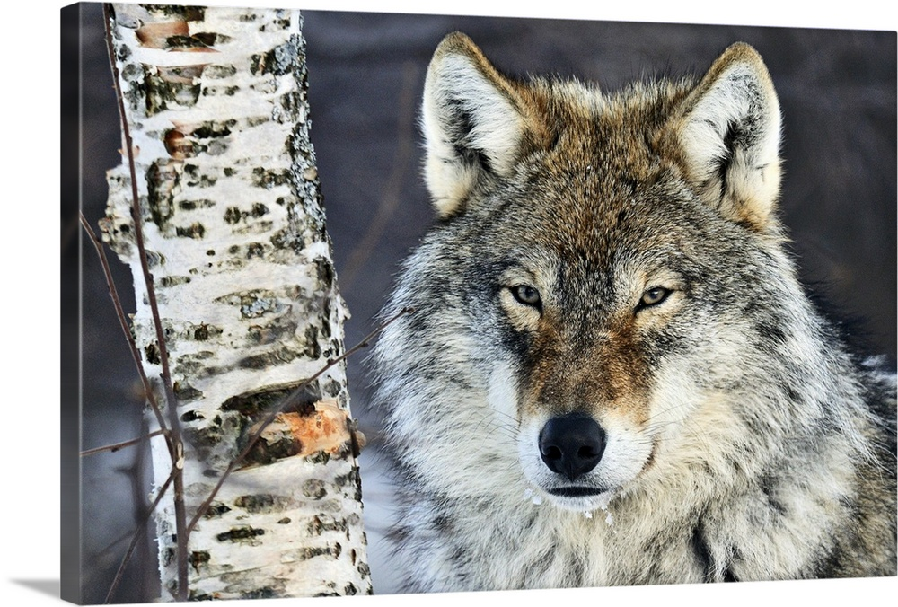 Large Gallery-Wrapped Canvas Wall Art Print 24 x 16 entitled Gray Wolf (Canis lupus) portrait, Norway Gallery-Wrapped Canvas entitled Gray Wolf Canis lupus portrait Norway.  Big canvas photo of the up close of a wolfs face next to a tree trunk staring at the camera.  Multiple sizes available.  Primary colors within this image include Dark Gray White.  Made in USA.  All products come with a 365 day workmanship guarantee.  Inks used are latex-based and designed to last.  Canvas is designed to prevent fading.  Canvases have a UVB protection built in to protect against fading and moisture and are designed to last for over 100 years.