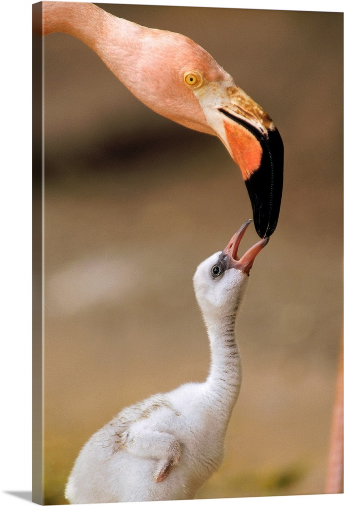Large Gallery-Wrapped Canvas Wall Art Print 16 x 24 entitled Greater Flamingo (Phoenicopterus ruber) mother and chick, Car... Gallery-Wrapped Canvas entitled Greater Flamingo Phoenicopterus ruber mother and chick Caribbean species.  Multiple sizes available.  Primary colors within this image include Black Gray Silver.  Made in USA.  Satisfaction guaranteed.  Archival-quality UV-resistant inks.  Museum-quality artist-grade canvas mounted on sturdy wooden stretcher bars 1.5 thick.  Comes ready to hang.  Canvas is a 65 polyester 35 cotton base with two acrylic latex primer basecoats and a semi-gloss inkjet receptive topcoat.