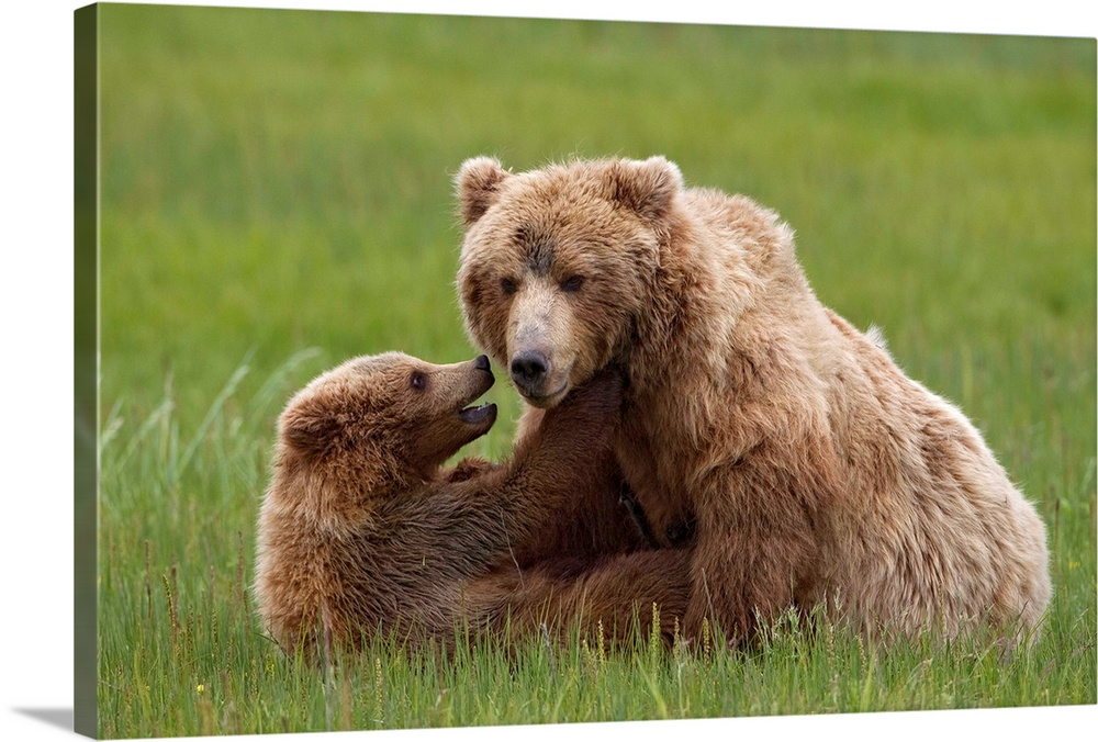 Large Gallery-Wrapped Canvas Wall Art Print 24 x 16 entitled Grizzly Bear mother playing with cub, Lake Clark National Par... Gallery-Wrapped Canvas entitled Grizzly Bear mother playing with cub Lake Clark National Park Alaska.  Grizzly Bear  Brown Bear Ursus arctos horribilis mother playing with cub Lake Clark National Park Alaska.  Multiple sizes available.  Primary colors within this image include Dark Yellow Dark Gray.  Made in USA.  Satisfaction guaranteed.  Inks used are latex-based and designed to last.  Canvas frames are built with farmed or reclaimed domestic pine or poplar wood.  Canvases are stretched across a 1.5 inch thick wooden frame with easy-to-mount hanging hardware.