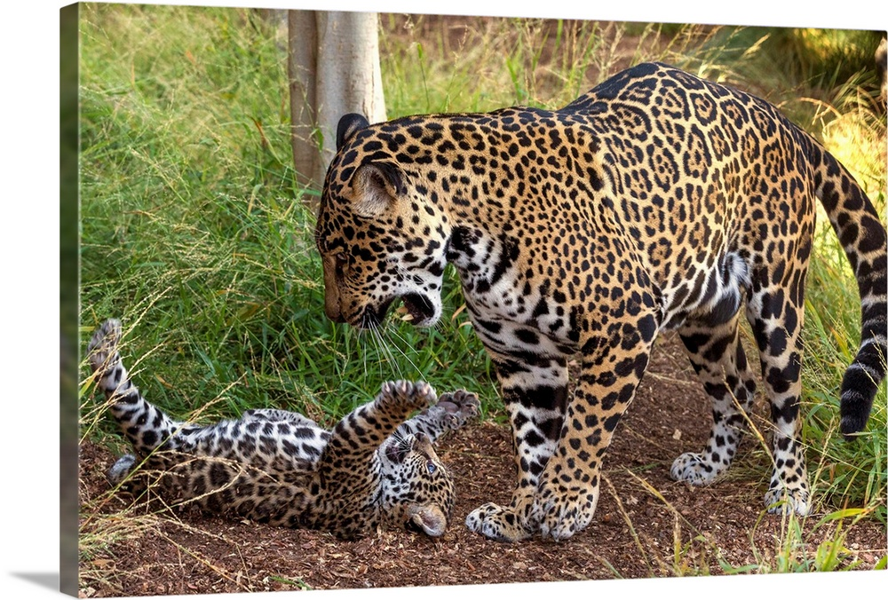 Large Gallery-Wrapped Canvas Wall Art Print 24 x 16 entitled Jaguar cub playing with mother, native to Central and South A... Gallery-Wrapped Canvas entitled Jaguar cub playing with mother native to Central and South America.  Multiple sizes available.  Primary colors within this image include Light Yellow Black Light Gray.  Made in USA.  All products come with a 365 day workmanship guarantee.  Archival-quality UV-resistant inks.  Canvases have a UVB protection built in to protect against fading and moisture and are designed to last for over 100 years.  Canvas is acid-free and 20 millimeters thick.