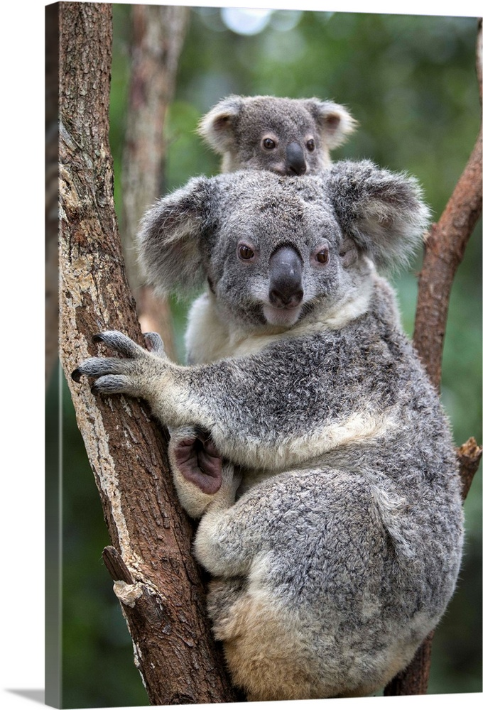 Large Gallery-Wrapped Canvas Wall Art Print 16 x 24 entitled Koala mother and eight-month-old joey, Queensland, Australia Gallery-Wrapped Canvas entitled Koala mother and eight-month-old joey Queensland Australia.  Koala .Phascolarctos cinereus.Mother and eight-month-old joey.Queensland Australia.Captive.Digitally removed twig on tree.  Multiple sizes available.  Primary colors within this image include Light Gray Dark Forest Green.  Made in USA.  All products come with a 365 day workmanship guarantee.  Inks used are latex-based and designed to last.  Canvas is a 65 polyester 35 cotton base with two acrylic latex primer basecoats and a semi-gloss inkjet receptive topcoat.  Canvases have a UVB protection built in to protect against fading and moisture and are designed to last for over 100 years.