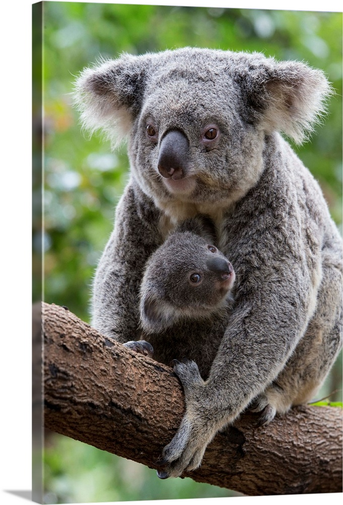 Large Gallery-Wrapped Canvas Wall Art Print 16 x 24 entitled Koala mother and eight-month-old joey, Queensland, Australia Gallery-Wrapped Canvas entitled Koala mother and eight-month-old joey Queensland Australia.  Koala .Phascolarctos cinereus.Mother and eight-month-old joey.Queensland Australia.Captive.  Multiple sizes available.  Primary colors within this image include Dark Yellow Dark Gray Gray White.  Made in the USA.  Satisfaction guaranteed.  Inks used are latex-based and designed to last.  Canvas is a 65 polyester 35 cotton base with two acrylic latex primer basecoats and a semi-gloss inkjet receptive topcoat.  Canvas is designed to prevent fading.