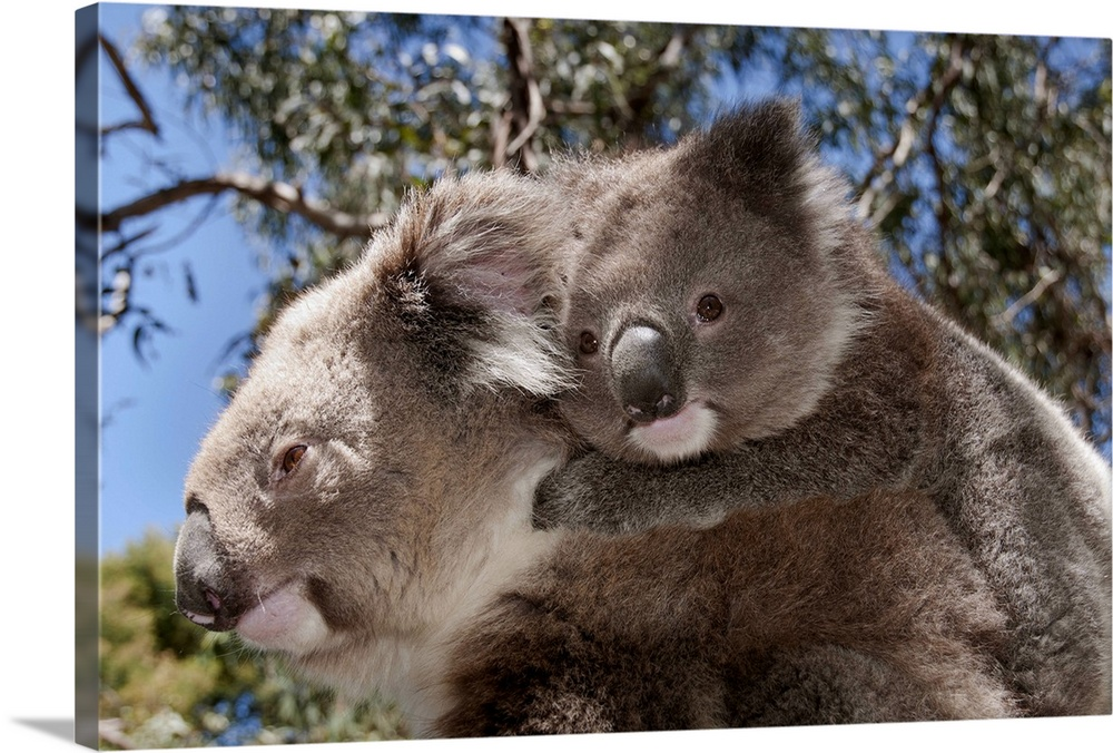 Large Gallery-Wrapped Canvas Wall Art Print 24 x 16 entitled Koala mother carrying young in Gum Tree (Eucalyptus sp) fores... Gallery-Wrapped Canvas entitled Koala mother carrying young in Gum Tree Eucalyptus sp forest Victoria Australia.  Multiple sizes available.  Primary colors within this image include Sky Blue Dark Gray Light Gray.  Made in USA.  All products come with a 365 day workmanship guarantee.  Archival-quality UV-resistant inks.  Canvas is designed to prevent fading.  Canvas is a 65 polyester 35 cotton base with two acrylic latex primer basecoats and a semi-gloss inkjet receptive topcoat.