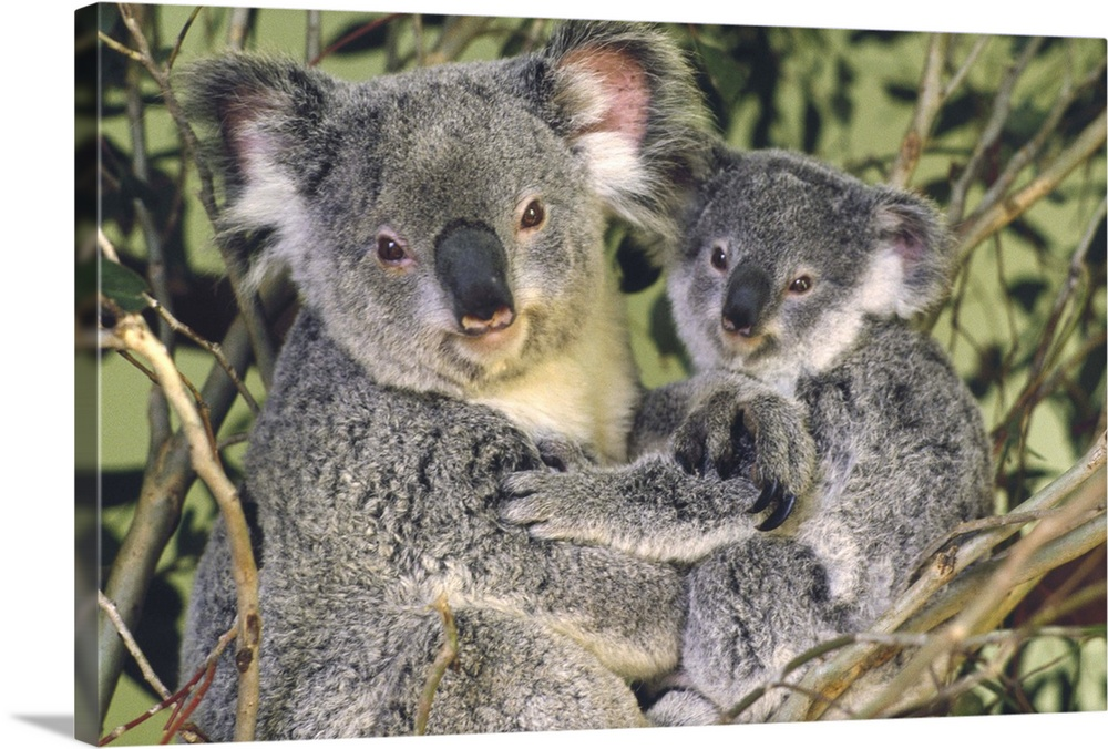 Large Gallery-Wrapped Canvas Wall Art Print 24 x 16 entitled Koala mother with joey, eastern temperate Australia Gallery-Wrapped Canvas entitled Koala mother with joey eastern temperate Australia.  Koala Phascolarctos cinereus mother with joey eastern temperate Australia.  Multiple sizes available.  Primary colors within this image include Dark Gray Silver.  Made in USA.  All products come with a 365 day workmanship guarantee.  Inks used are latex-based and designed to last.  Canvas frames are built with farmed or reclaimed domestic pine or poplar wood.  Canvas is designed to prevent fading.