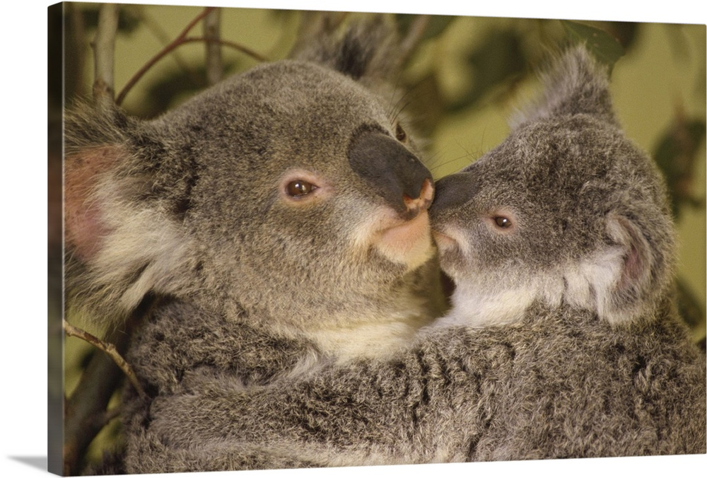 Large Gallery-Wrapped Canvas Wall Art Print 24 x 16 entitled Koala (Phascolarctos cinereus) mother with joey, eastern temp... Gallery-Wrapped Canvas entitled Koala Phascolarctos cinereus mother with joey eastern temperate Australia.  Australia.  Multiple sizes available.  Primary colors within this image include Dark Yellow Dark Gray.  Made in USA.  Satisfaction guaranteed.  Archival-quality UV-resistant inks.  Canvas is a 65 polyester 35 cotton base with two acrylic latex primer basecoats and a semi-gloss inkjet receptive topcoat.  Canvas is acid-free and 20 millimeters thick.