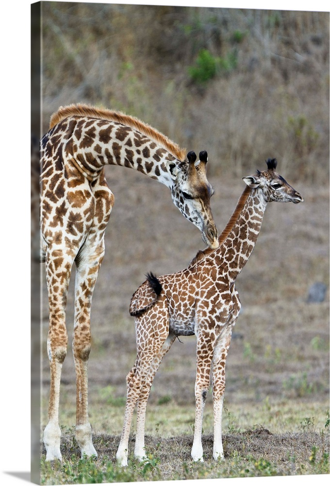 Large Gallery-Wrapped Canvas Wall Art Print 16 x 24 entitled Masai Giraffe mother cleaning calf, Arusha National Park, Tan... Gallery-Wrapped Canvas entitled Masai Giraffe mother cleaning calf Arusha National Park Tanzania.  Multiple sizes available.  Primary colors within this image include Gray Dark Navy Blue.  Made in USA.  Satisfaction guaranteed.  Archival-quality UV-resistant inks.  Canvas is a 65 polyester 35 cotton base with two acrylic latex primer basecoats and a semi-gloss inkjet receptive topcoat.  Museum-quality artist-grade canvas mounted on sturdy wooden stretcher bars 1.5 thick.  Comes ready to hang.