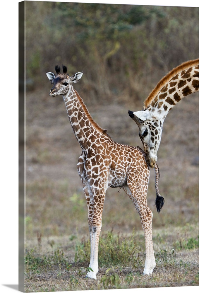 Large Gallery-Wrapped Canvas Wall Art Print 16 x 24 entitled Masai Giraffe mother nuzzling calf, Arusha National Park, Tan... Gallery-Wrapped Canvas entitled Masai Giraffe mother nuzzling calf Arusha National Park Tanzania.  Multiple sizes available.  Primary colors within this image include Light Gray Dark Forest Green.  Made in USA.  Satisfaction guaranteed.  Archival-quality UV-resistant inks.  Canvases are stretched across a 1.5 inch thick wooden frame with easy-to-mount hanging hardware.  Canvas is designed to prevent fading.