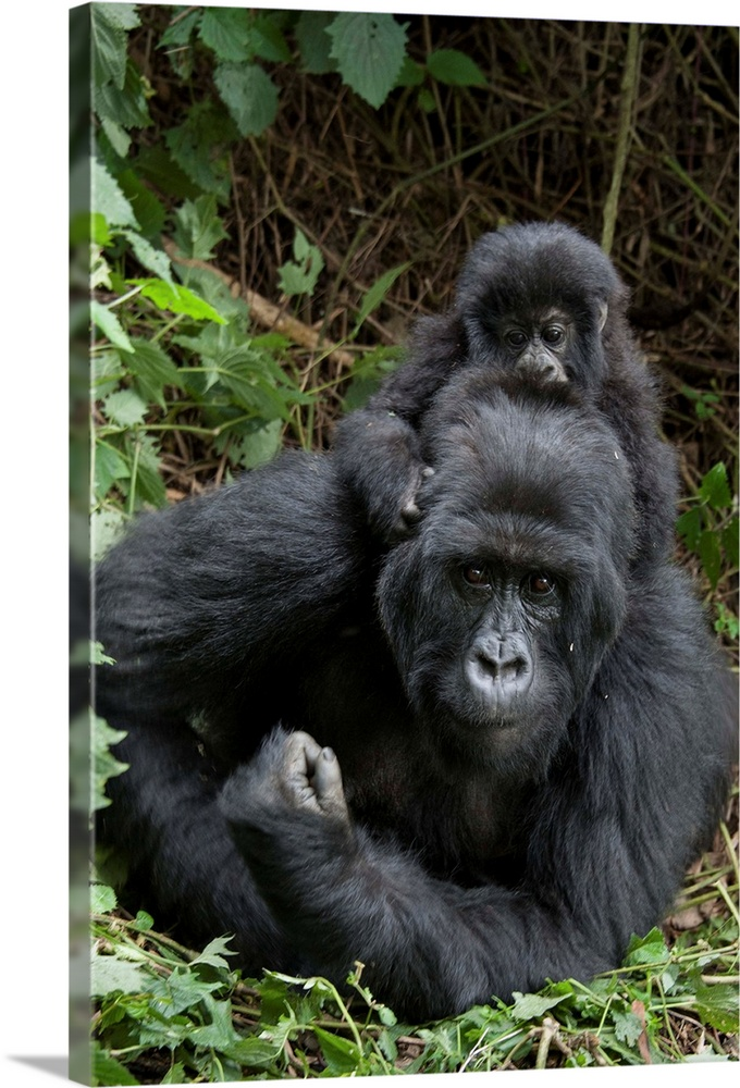 Large Gallery-Wrapped Canvas Wall Art Print 16 x 24 entitled Mountain Gorilla mother and baby, Parc National des Volcans, ... Gallery-Wrapped Canvas entitled Mountain Gorilla mother and baby Parc National des Volcans Rwanda.  Mountain Gorilla.Gorilla gorilla beringei.Mother and 1.5 year old baby.Parc National des Volcans Rwanda.Endangered species.  Multiple sizes available.  Primary colors within this image include Forest Green Black Gray Lime Green.  Made in USA.  All products come with a 365 day workmanship guarantee.  Archival-quality UV-resistant inks.  Canvas is a 65 polyester 35 cotton base with two acrylic latex primer basecoats and a semi-gloss inkjet receptive topcoat.  Canvases have a UVB protection built in to protect against fading and moisture and are designed to last for over 100 years.