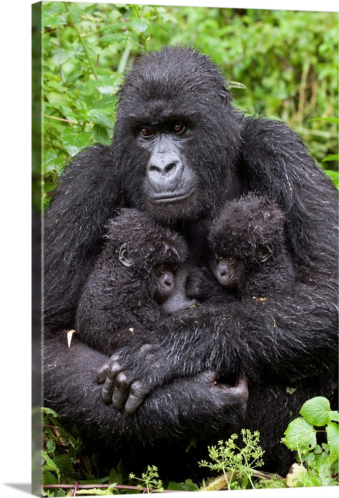 Large Gallery-Wrapped Canvas Wall Art Print 16 x 24 entitled Mountain Gorilla mother holding twin babies, Parc National de... Gallery-Wrapped Canvas entitled Mountain Gorilla mother holding twin babies Parc National des Volcans Rwanda.  Mountain Gorilla.Gorilla gorilla beringei.Mother holding 5 month old twin babies.Parc National des Volcans Rwanda.Endangered species.......  Multiple sizes available.  Primary colors within this image include Forest Green Dark Gray White Lime Green.  Made in USA.  All products come with a 365 day workmanship guarantee.  Archival-quality UV-resistant inks.  Canvas is designed to prevent fading.  Museum-quality artist-grade canvas mounted on sturdy wooden stretcher bars 1.5 thick.  Comes ready to hang.