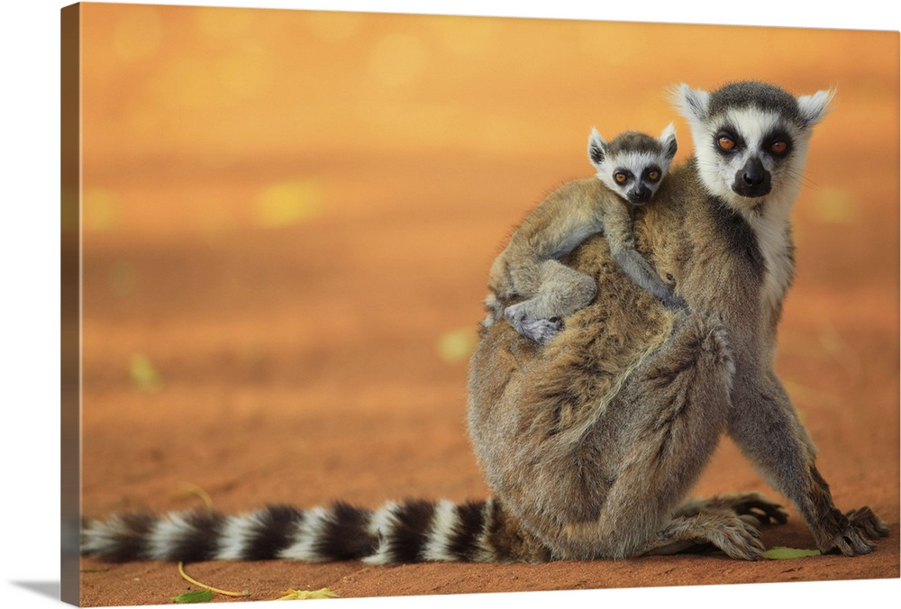 Large Gallery-Wrapped Canvas Wall Art Print 24 x 16 entitled Ring-tailed Lemur mother with baby clinging to her back, vuln... Gallery-Wrapped Canvas entitled Ring-tailed Lemur mother with baby clinging to her back vulnerable.  Madagascar.  Multiple sizes available.  Primary colors within this image include Peach Black Gray Silver.  Made in the USA.  Satisfaction guaranteed.  Inks used are latex-based and designed to last.  Museum-quality artist-grade canvas mounted on sturdy wooden stretcher bars 1.5 thick.  Comes ready to hang.  Canvas is acid-free and 20 millimeters thick.