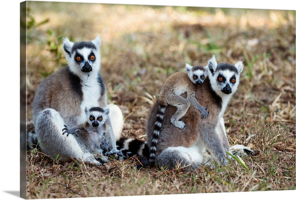 Large Gallery-Wrapped Canvas Wall Art Print 24 x 16 entitled Ring-tailed Lemur mothers with young, Nahampoana Reserve, Mad... Gallery-Wrapped Canvas entitled Ring-tailed Lemur mothers with young Nahampoana Reserve Madagascar.  Kattas mit Babies Lemur catta Nahampoana Reservat S..d-Madagaskar Afrika  Ringtailed Lemurs with babies Lemur catta Nahampoana Reserve South Madagascar Africa.  Multiple sizes available.  Primary colors within this image include Black Light Gray.  Made in USA.  Satisfaction guaranteed.  Inks used are latex-based and designed to last.  Canvas is acid-free and 20 millimeters thick.  Museum-quality artist-grade canvas mounted on sturdy wooden stretcher bars 1.5 thick.  Comes ready to hang.
