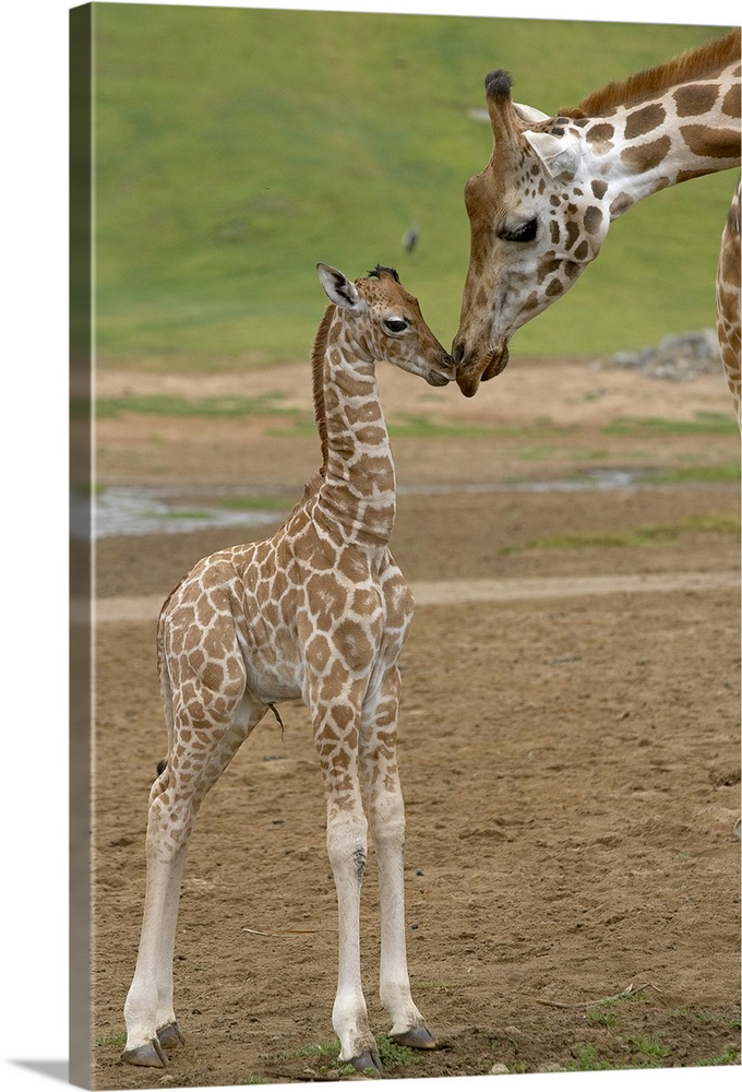 Large Gallery-Wrapped Canvas Wall Art Print 16 x 24 entitled Rothschild Giraffe  mother kissing calf, native to Africa Gallery-Wrapped Canvas entitled Rothschild Giraffe  mother kissing calf native to Africa.  Vertical canvas of a baby giraffe standing up and touching noses with its parent.  Multiple sizes available.  Primary colors within this image include Black Gray.  Made in the USA.  Satisfaction guaranteed.  Archival-quality UV-resistant inks.  Canvas is a 65 polyester 35 cotton base with two acrylic latex primer basecoats and a semi-gloss inkjet receptive topcoat.  Canvas is designed to prevent fading.