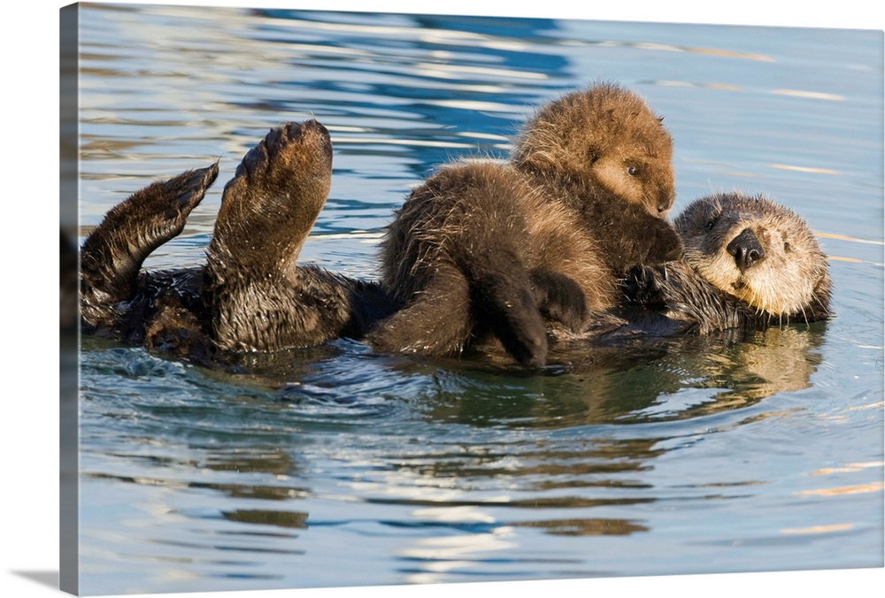 Large Gallery-Wrapped Canvas Wall Art Print 24 x 16 entitled Sea Otter mother and pup, Elkhorn Slough, Monterey Bay, Calif... Gallery-Wrapped Canvas entitled Sea Otter mother and pup Elkhorn Slough Monterey Bay California.  Multiple sizes available.  Primary colors within this image include Silver Dark Forest Green.  Made in USA.  All products come with a 365 day workmanship guarantee.  Inks used are latex-based and designed to last.  Canvas is a 65 polyester 35 cotton base with two acrylic latex primer basecoats and a semi-gloss inkjet receptive topcoat.  Canvases are stretched across a 1.5 inch thick wooden frame with easy-to-mount hanging hardware.