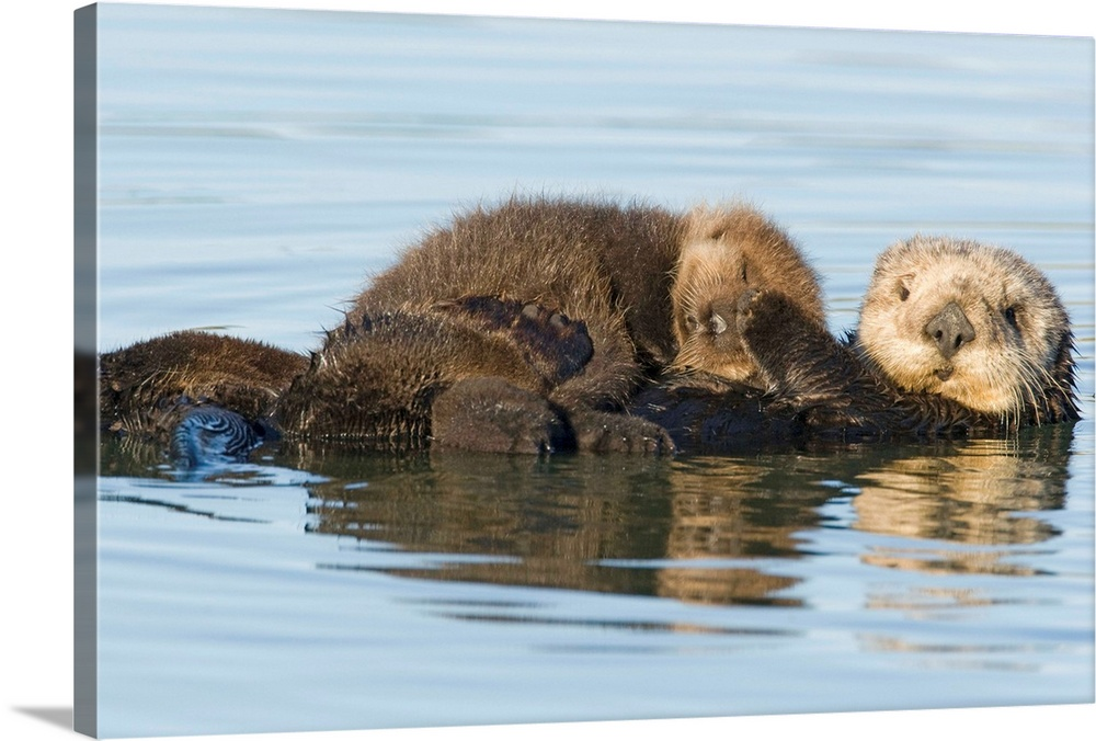 Large Gallery-Wrapped Canvas Wall Art Print 24 x 16 entitled Sea Otter mother and pup, Elkhorn Slough, Monterey Bay, Calif... Gallery-Wrapped Canvas entitled Sea Otter mother and pup Elkhorn Slough Monterey Bay California.  Multiple sizes available.  Primary colors within this image include Peach Silver Dark Forest Green.  Made in USA.  Satisfaction guaranteed.  Inks used are latex-based and designed to last.  Canvas is acid-free and 20 millimeters thick.  Canvas is designed to prevent fading.