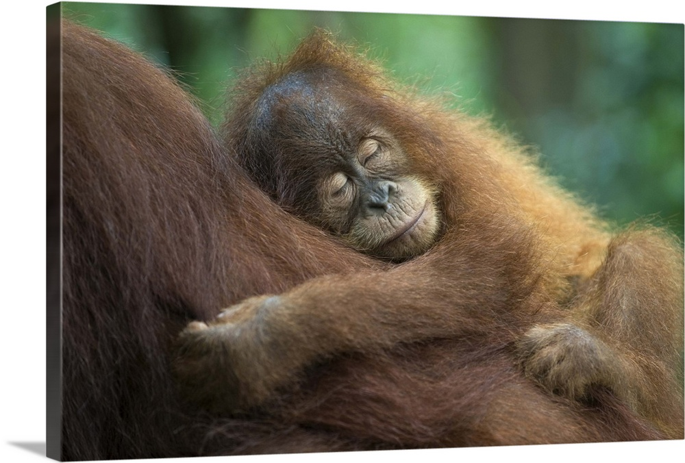 Large Gallery-Wrapped Canvas Wall Art Print 24 x 16 entitled Sumatran Orangutan baby sleeping on mother, north Sumatra, In... Gallery-Wrapped Canvas entitled Sumatran Orangutan baby sleeping on mother north Sumatra Indonesia.  Sumatran OrangutanPongo abelii2.5 year old baby sleeping on motherNorth Sumatra IndonesiaCritically Endangered.  Multiple sizes available.  Primary colors within this image include Peach Dark Gray Gray.  Made in USA.  All products come with a 365 day workmanship guarantee.  Inks used are latex-based and designed to last.  Canvases are stretched across a 1.5 inch thick wooden frame with easy-to-mount hanging hardware.  Canvas frames are built with farmed or reclaimed domestic pine or poplar wood.