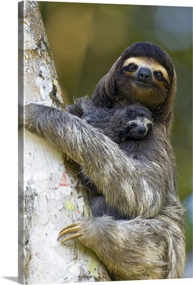 Large Gallery-Wrapped Canvas Wall Art Print 16 x 24 entitled Three-toed Sloth mother and baby, Aviarios Sloth Sanctuary, C... Gallery-Wrapped Canvas entitled Three-toed Sloth mother and baby Aviarios Sloth Sanctuary Costa Rica.  Brown-throated Three-toed Sloth Bradypus variegatusMother and newborn baby less than 1 week oldAviarios Sloth Sanctuary Costa Rica.  Multiple sizes available.  Primary colors within this image include Black Silver Dark Forest Green.  Made in USA.  Satisfaction guaranteed.  Archival-quality UV-resistant inks.  Canvas is designed to prevent fading.  Museum-quality artist-grade canvas mounted on sturdy wooden stretcher bars 1.5 thick.  Comes ready to hang.