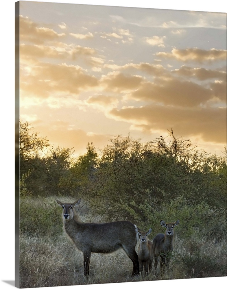 Large Gallery-Wrapped Canvas Wall Art Print 18 x 24 entitled Waterbuck (Kobus ellipsiprymnus) mother and calf, Kruger Nati... Gallery-Wrapped Canvas entitled Waterbuck Kobus ellipsiprymnus mother and calf Kruger National Park South Africa.  Multiple sizes available.  Primary colors within this image include Peach Dark Forest Green.  Made in the USA.  Satisfaction guaranteed.  Archival-quality UV-resistant inks.  Canvases are stretched across a 1.5 inch thick wooden frame with easy-to-mount hanging hardware.  Canvas is acid-free and 20 millimeters thick.