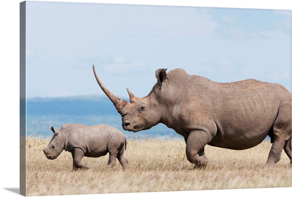 Large Gallery-Wrapped Canvas Wall Art Print 24 x 16 entitled White Rhinoceros mother and calf, Solio Ranch, Kenya Gallery-Wrapped Canvas entitled White Rhinoceros mother and calf Solio Ranch Kenya.  Multiple sizes available.  Primary colors within this image include Black Gray Pale Blue.  Made in the USA.  Satisfaction guaranteed.  Inks used are latex-based and designed to last.  Canvases are stretched across a 1.5 inch thick wooden frame with easy-to-mount hanging hardware.  Canvas is designed to prevent fading.
