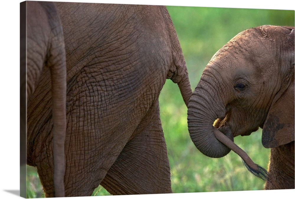 Large Gallery-Wrapped Canvas Wall Art Print 24 x 16 entitled A baby elephant grasping its mother's tail, Samburu National ... Gallery-Wrapped Canvas entitled A baby elephant grasping its mothers tail Samburu National Reserve Kenya.  Multiple sizes available.  Primary colors within this image include Dark Gray Light Gray.  Made in USA.  All products come with a 365 day workmanship guarantee.  Inks used are latex-based and designed to last.  Canvases have a UVB protection built in to protect against fading and moisture and are designed to last for over 100 years.  Canvases are stretched across a 1.5 inch thick wooden frame with easy-to-mount hanging hardware.