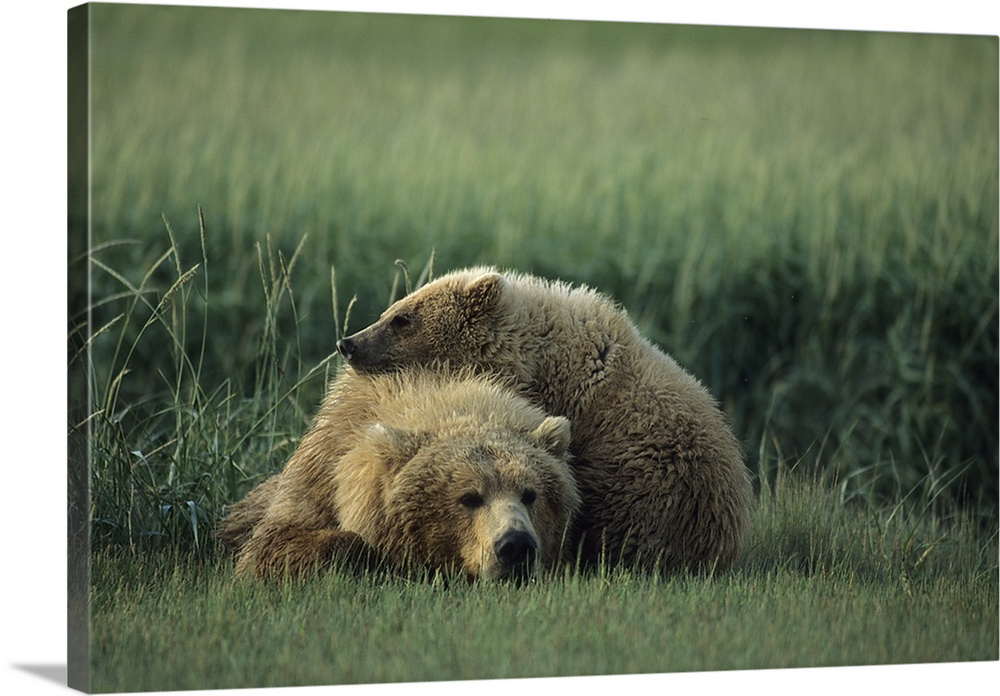 Large Gallery-Wrapped Canvas Wall Art Print 24 x 16 entitled A bear cub resting on its mother's back Gallery-Wrapped Canvas entitled A bear cub resting on its mothers back.  Multiple sizes available.  Primary colors within this image include Silver Dark Forest Green.  Made in USA.  All products come with a 365 day workmanship guarantee.  Archival-quality UV-resistant inks.  Canvas is a 65 polyester 35 cotton base with two acrylic latex primer basecoats and a semi-gloss inkjet receptive topcoat.  Museum-quality artist-grade canvas mounted on sturdy wooden stretcher bars 1.5 thick.  Comes ready to hang.
