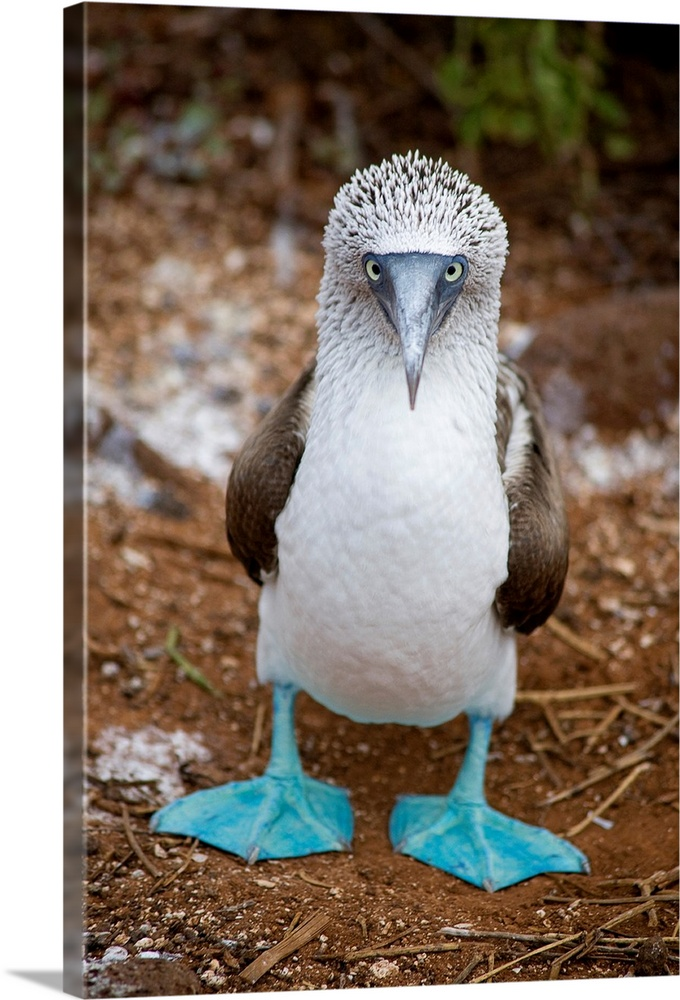 Large Gallery-Wrapped Canvas Wall Art Print 16 x 24 entitled A blue footed booby looks at the camera Gallery-Wrapped Canvas entitled A blue footed booby looks at the camera.  From the National Geographic collection in this vertical photograph a lone shore bird stares intensely at the viewer.  Multiple sizes available.  Primary colors within this image include Black Gray Silver.  Made in the USA.  All products come with a 365 day workmanship guarantee.  Inks used are latex-based and designed to last.  Canvas frames are built with farmed or reclaimed domestic pine or poplar wood.  Museum-quality artist-grade canvas mounted on sturdy wooden stretcher bars 1.5 thick.  Comes ready to hang.