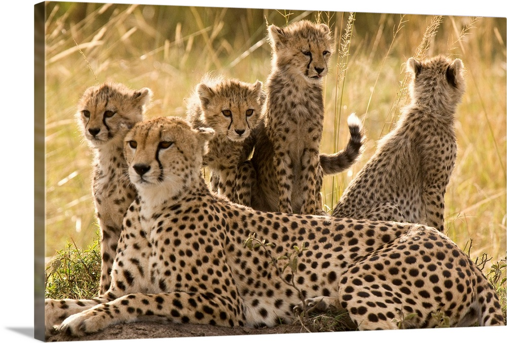 Large Gallery-Wrapped Canvas Wall Art Print 24 x 16 entitled A cheetah family: mother and cubs, Masai Mara, Kenya Gallery-Wrapped Canvas entitled A cheetah family mother and cubs Masai Mara Kenya.  From the National Geographic collection big African cats resting in the savannah grass.  Multiple sizes available.  Primary colors within this image include Black Gray White.  Made in the USA.  Satisfaction guaranteed.  Archival-quality UV-resistant inks.  Canvas is designed to prevent fading.  Canvases have a UVB protection built in to protect against fading and moisture and are designed to last for over 100 years.