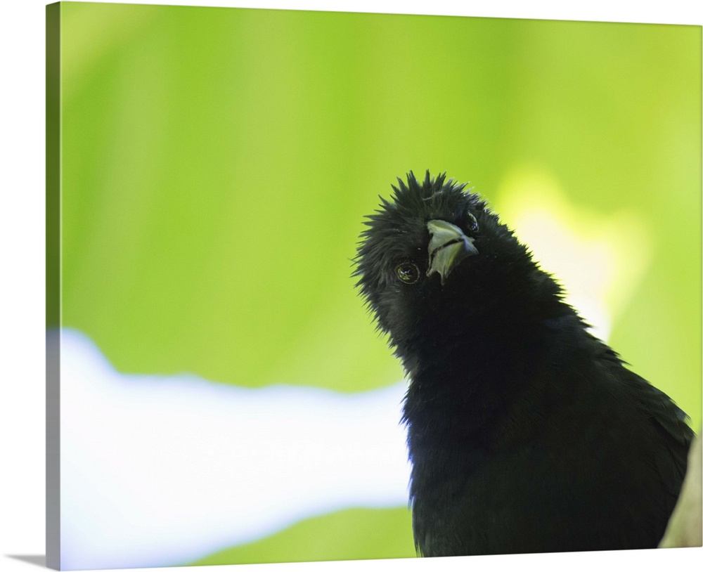 Large Solid-Faced Canvas Print Wall Art Print 30 x 24 entitled A crow stares at the camera with great curiosity Solid-Faced Canvas Print entitled A crow stares at the camera with great curiosity.  A crow stares at the camera with great curiosity.  Multiple sizes available.  Primary colors within this image include Light Yellow, Black, Gray, White.  Made in USA.  All products come with a 365 day workmanship guarantee.  Inks used are latex-based and designed to last.  Archival inks prevent fading and preserve as much fine detail as possible with no over-saturation or color shifting.  Canvas is handcrafted and made-to-order in the United States using high quality artist-grade canvas.
