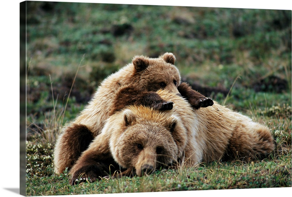 Large Gallery-Wrapped Canvas Wall Art Print 24 x 16 entitled A grizzly bear cub stretches across his mother's back, Alaska Gallery-Wrapped Canvas entitled A grizzly bear cub stretches across his mothers back Alaska.  From the National Geographic Collection a horizontal photograph of two brown bears resting together in a meadow.  Multiple sizes available.  Primary colors within this image include Peach Black Dark Forest Green.  Made in USA.  Satisfaction guaranteed.  Inks used are latex-based and designed to last.  Canvas is acid-free and 20 millimeters thick.  Canvas is designed to prevent fading.